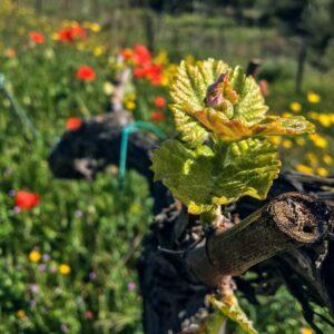 La bellesa de les nostres vinyes biodinàmiques al Priorat