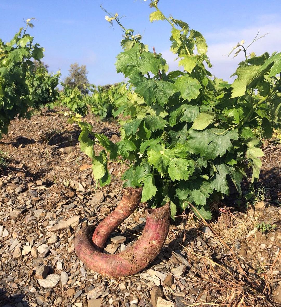 Pràctiques biodinàmiques a la vinya de Gratavinum - el Priorat